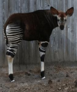 Baby okapi