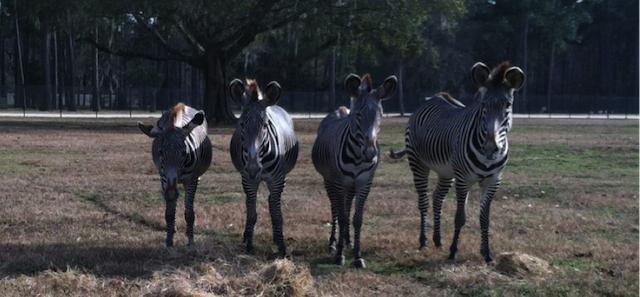 Grevy's zebra enjoying their hay snack