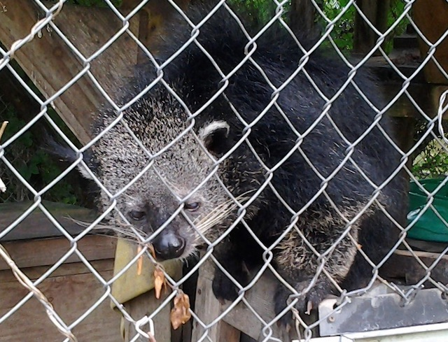 One of the other resident binturongs.