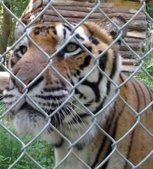 Carolina-Tiger-Rescue-Internship-Tiger-face