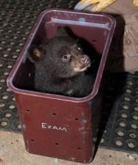 black-bear-cub-PAWS-wildlife-externship