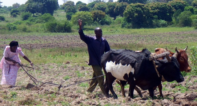 man-woman-hand-plowing-oxen-Uganda