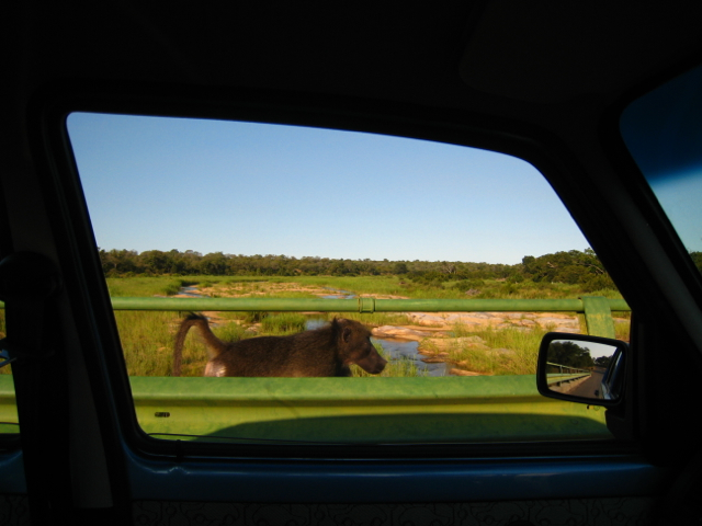 Baboon out my trusty rental car window.