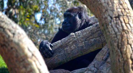La gorila Nalani conoce el nuevo mundo que le rodea en BIOPARC