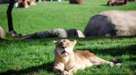 Muere Fa, la leona de BIOPARC Valencia  y la más longeva de España