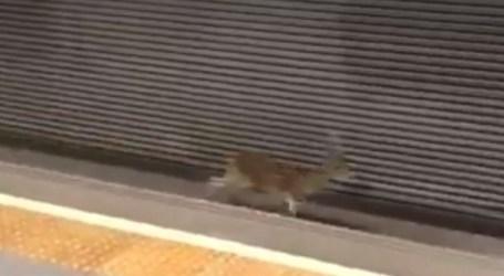 Un corzo corre por las vías de la estación de Manises
