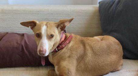 Buscando a Sandy, una perra en acogida desaparecida en Aldaia