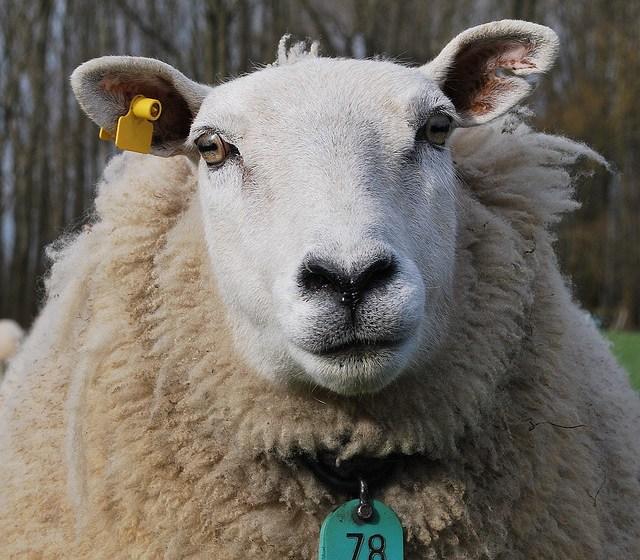Ser diferentes, no simples ovejas en el rebaño