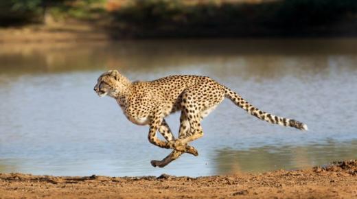 أسرع الثديات في العالم