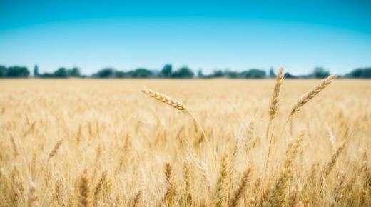 أكثر الدول إنتاجا للقمح