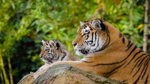 أهم أنواع النمور في العالم