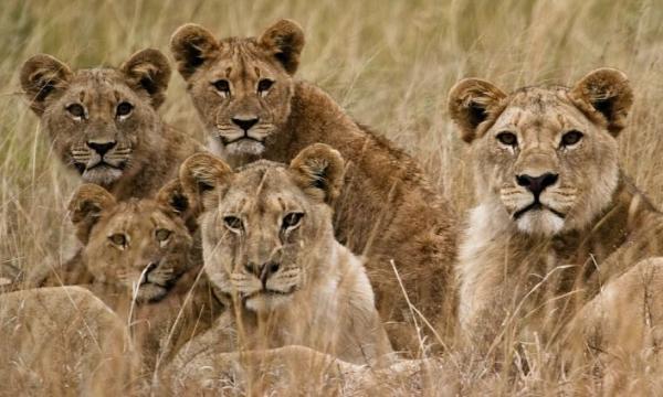 أهم القطط البرية في أفريقيا