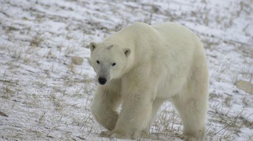 أهم المعلومات عن الدب الرمادي