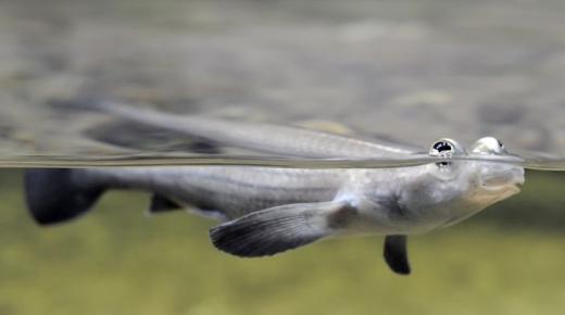 أهم المعلومات عن السمكة ذات العيون الأربعة
