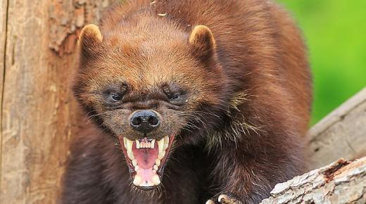 أهم المعلومات عن حيوان الدب الظربان