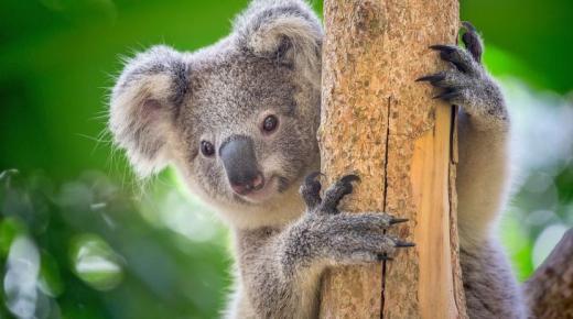 أهم المعلومات عن حيوان الكوالا