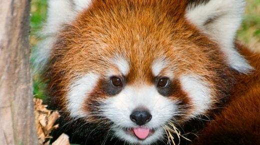 أهم المعلومات عن الباندا الحمراء