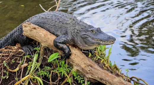 أهم المعلومات عن التمساح الأمريكي