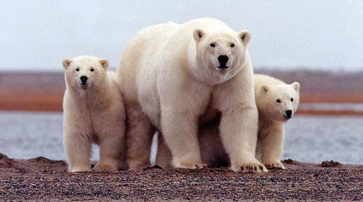 تفسير حلم رؤية الدب القطبي في المنام