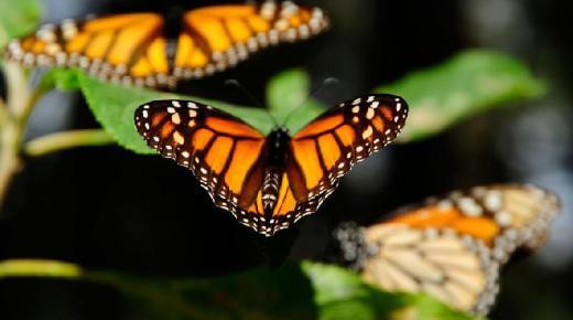 تفسير حلم رؤية الفراشة في المنام