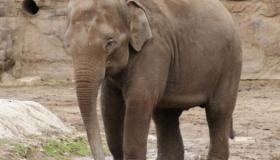 معلومات عن حيوان الفيل (أين يعيش؟، أنواعه وأهم صفاته)
