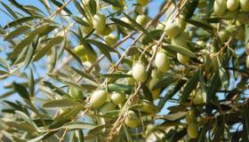فوائد شجرة الزيتون المباركة