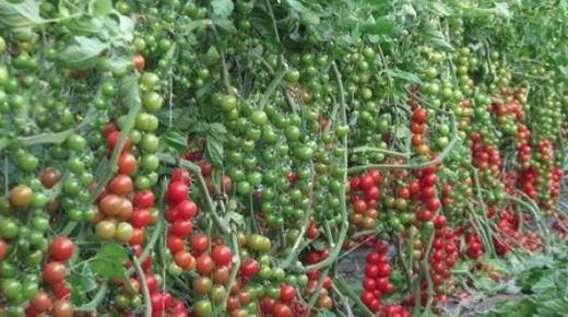 دراسة جدوى مشروع زراعة الخضراوات