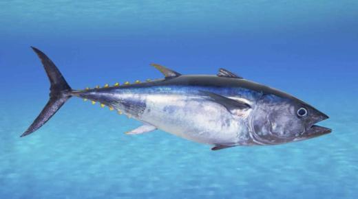 تفسير حلم رؤية سمك التونة في المنام