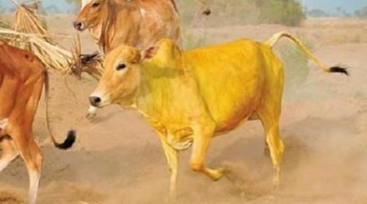 قصة البقرة الصفراء للصغار