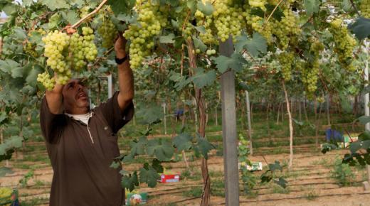 تفسير حلم رؤية قطف العنب في المنام