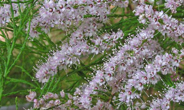 ما هى فوائد نبات الأثل الصحية وما أضراره؟