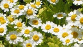 معالجة الالتهابات بالأعشاب الطبيعية