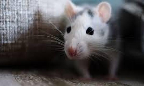طريقة القضاء على الفئران في المنزل