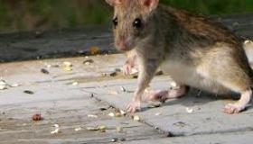 طرق طرد الفئران من المنزل