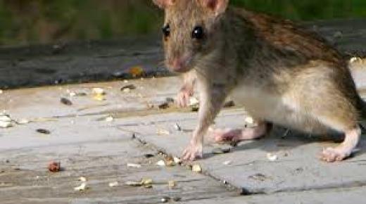 أنواع الفئران