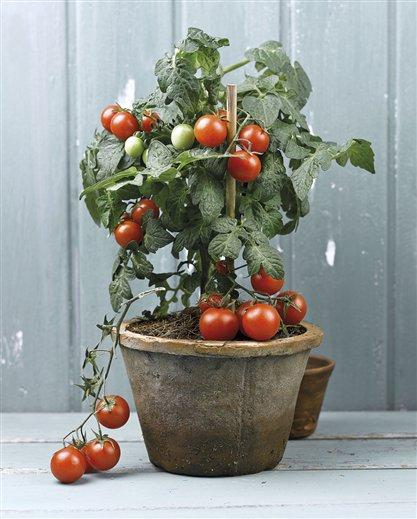 huerto familiar – cultivo del tomate « felix maocho