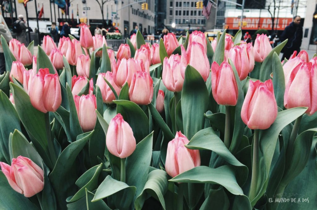 Tulipanes. Escala en Nueva York