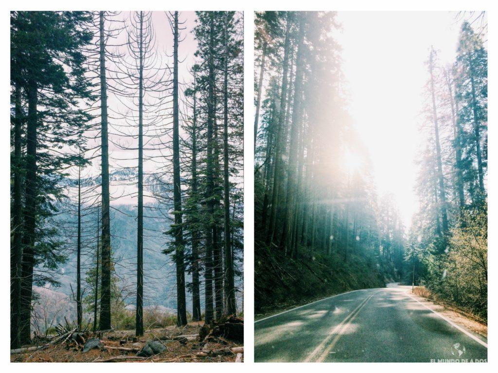Recorriendo el bosque gigante. Parque Nacional de las Secuoyas