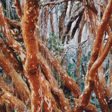 Isla Victoria y Bosque de Arrayanes. Cómo es la excursión más popular de Bariloche.