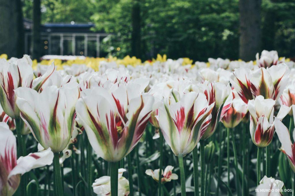 Tulipanes en el. Parque Keukenhof