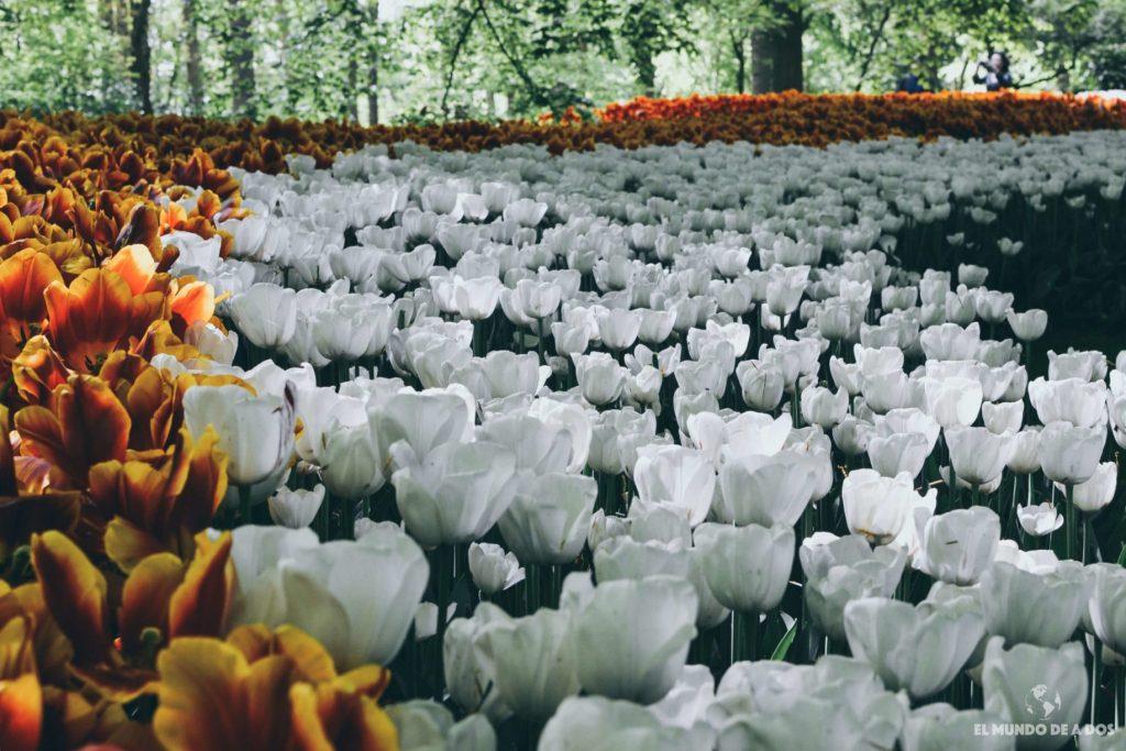 Tulipanes blancos. Parque Keukenhof