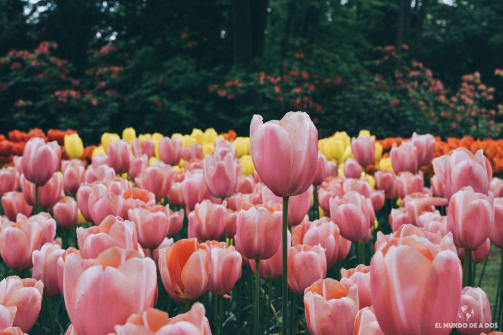 Campos de tulipanes. Parque Keukenhof