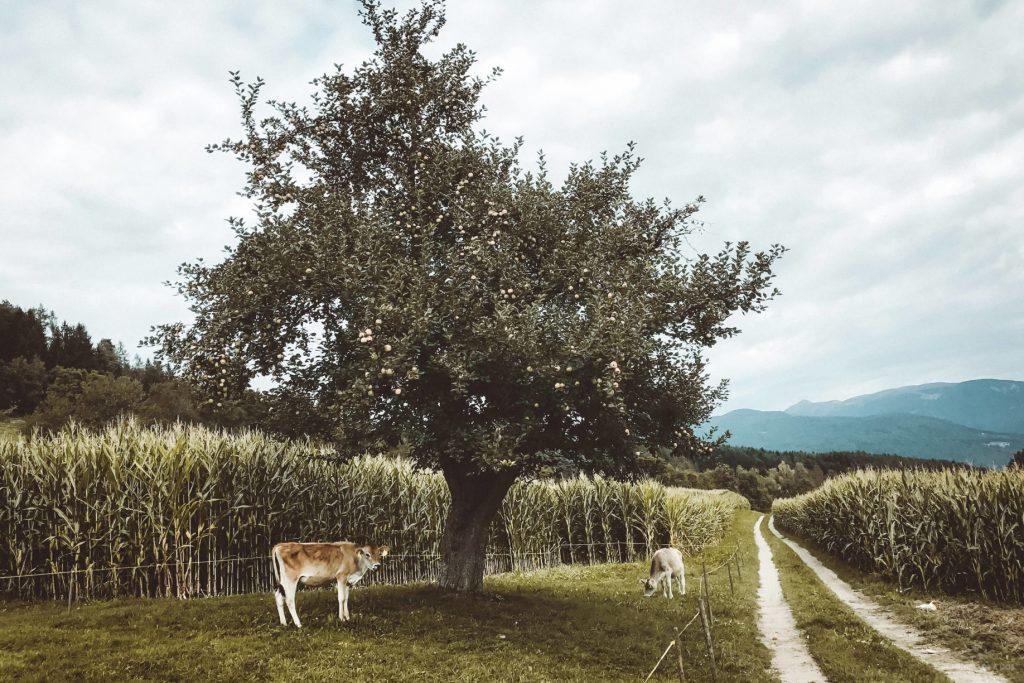 Caminando por la granja. Viaje a los Dolomitas en verano.