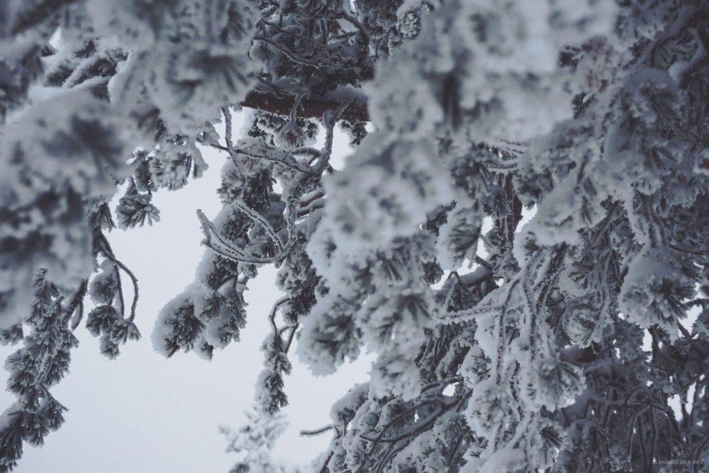 Pinos nevados. Viajar a Laponia en invierno