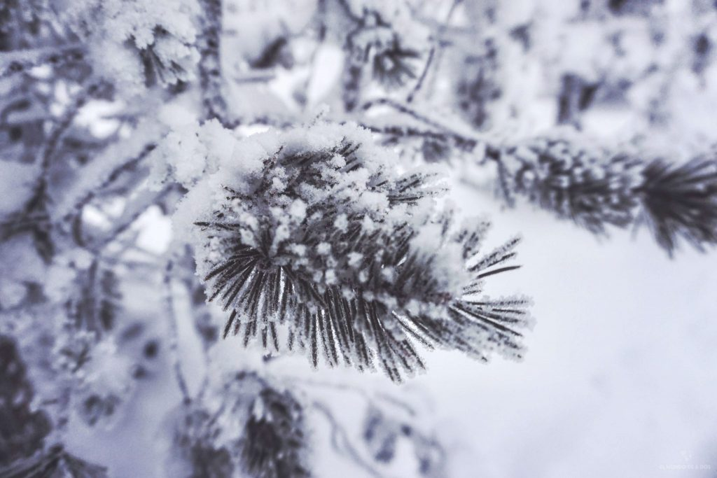 Portada pino congelado. Que ver en Laponia en invierno