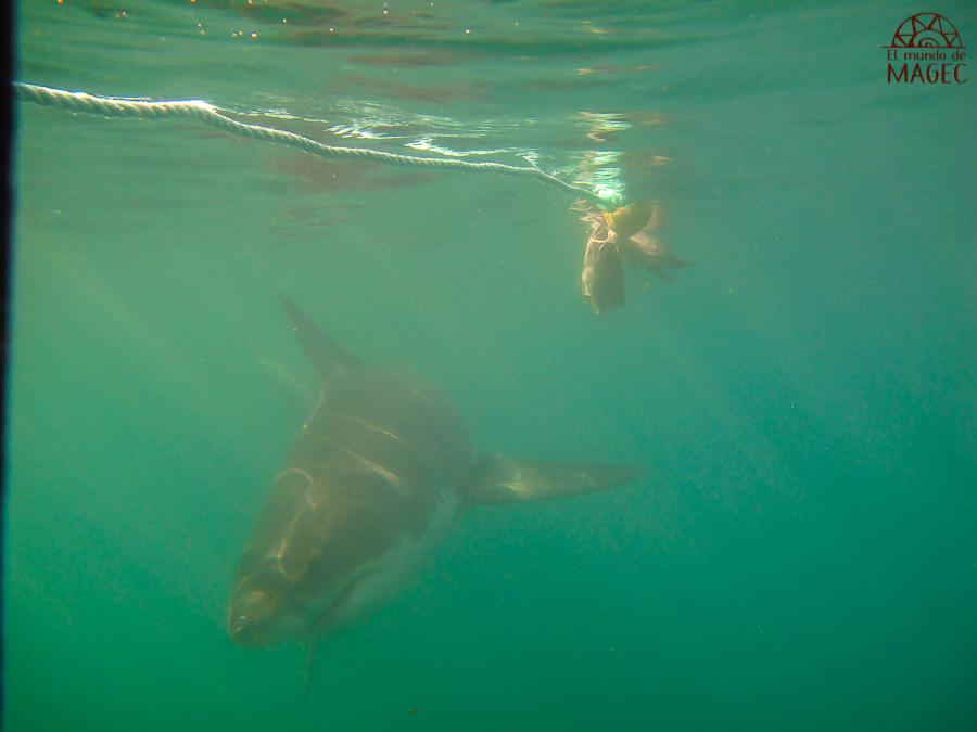 Bucear con el tiburón blanco en Sudáfrica