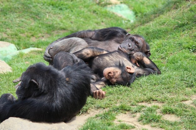 ximpanzés pixabay