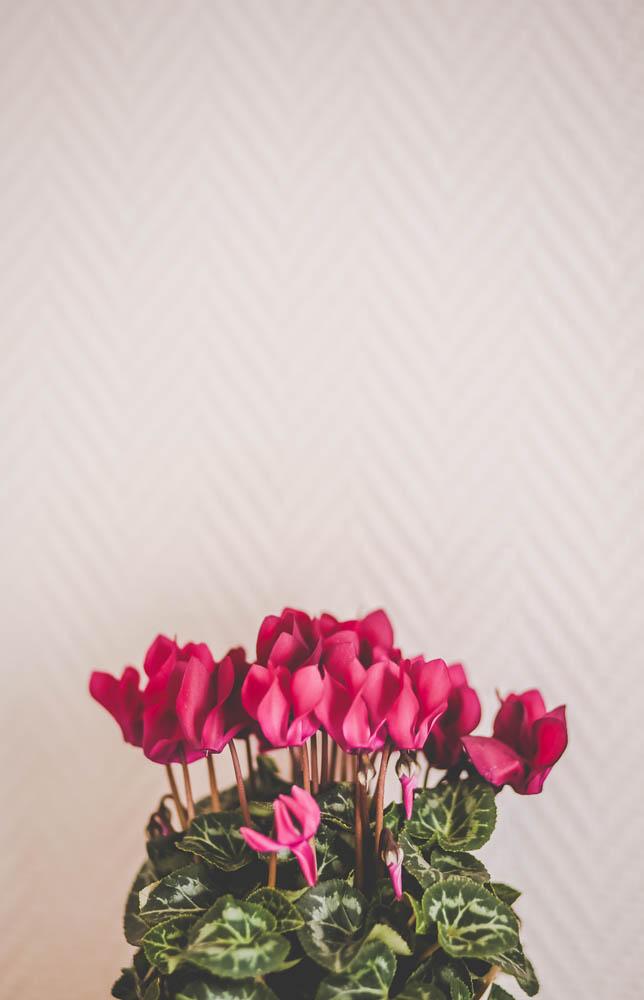 8df917c7a8de6e Aujourd'hui, je vais vous parler de la plante du mois, le Cyclamen, que  vous connaissez sûrement tous, avec ses jolis tons rouges, roses ou encore  blanc.