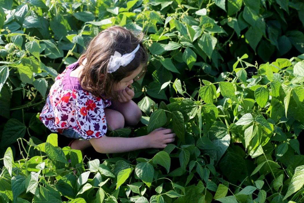 160810 jardin potager 6 Dans le potager de Papy