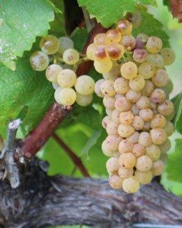 Chardonnay Grapes on the Vine